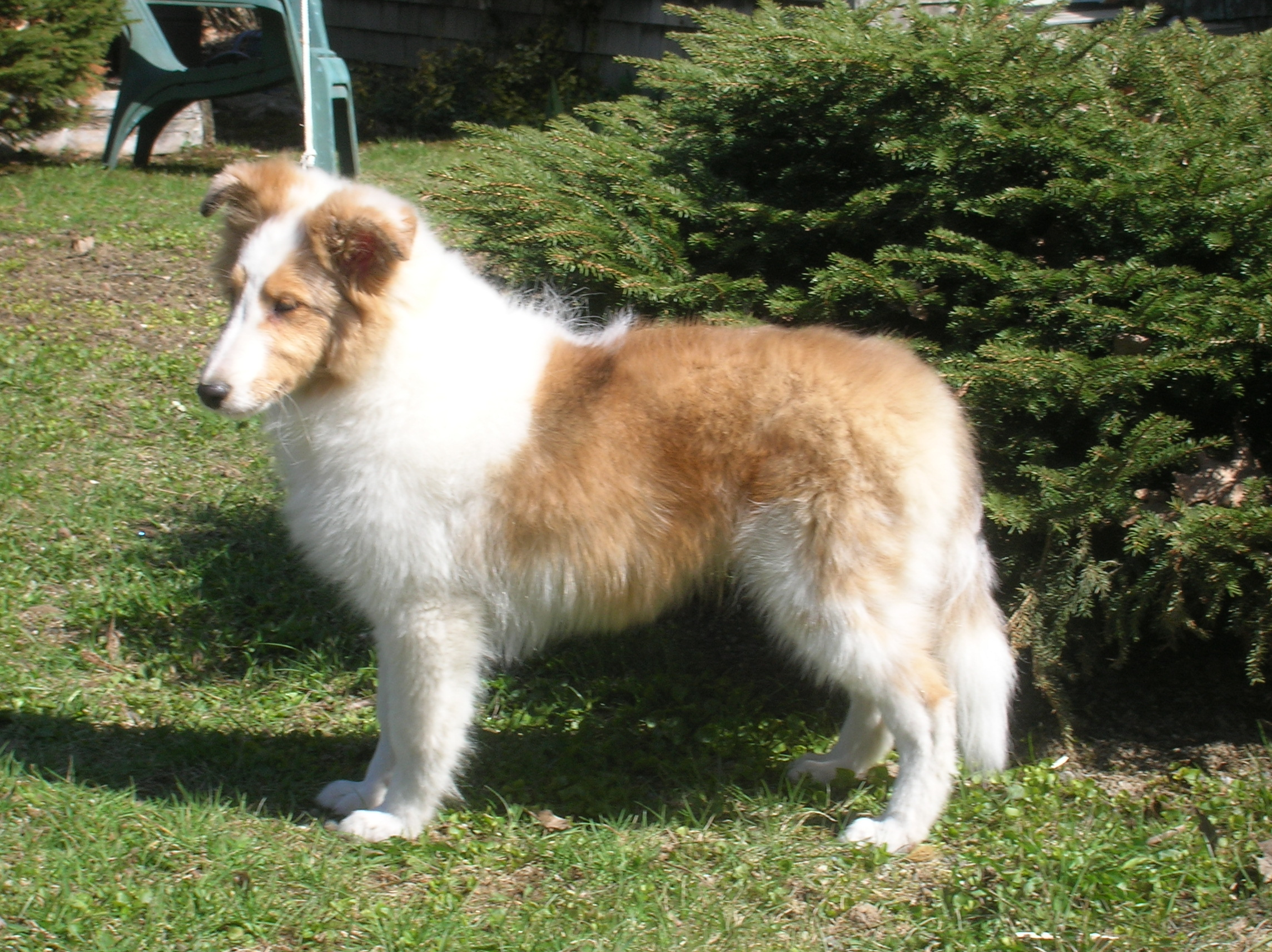 Adult Shelties For Sale 97